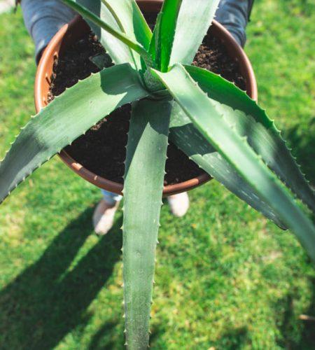 Aloe vera in a pot on green grass